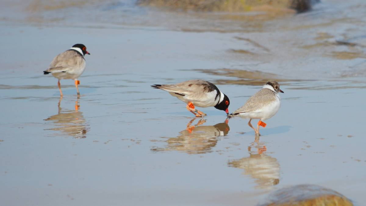Profits from sales of the 2015 Birds of the Fleurieu calendar goes towards projects protecting threatened species, including the Hooded Plover. Picture: Ash and Sue Read.